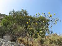 Sunflowers ahead!